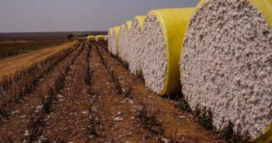 Preço do algodão sobe em Mato Grosso e vai a R$ 101 a arroba